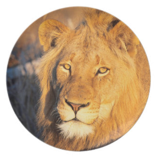 A Red Maned Lion looking at the camera. Plate