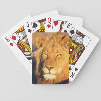 A Red Maned Lion looking at the camera. Playing Cards
