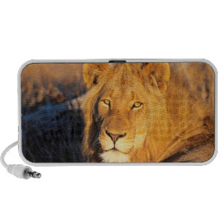 A Red Maned Lion looking at the camera. Laptop Speaker