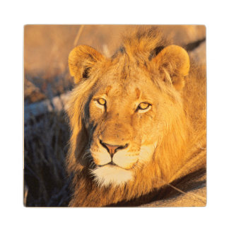 A Red Maned Lion looking at the camera. Wood Coaster