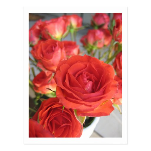 a Red Red Rose Post Cards