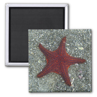 A Red Starfish   Galapagos, Equador Magnet