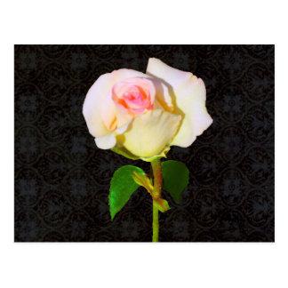 A Rose Unfolding - Black Damask Postcard