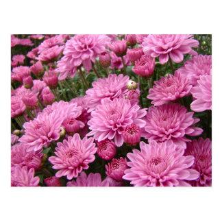 A Sea of Pink Chrysanthemums #2 Postcard