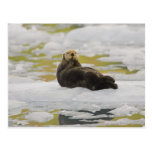 A sea otter rests on a small iceberg post card