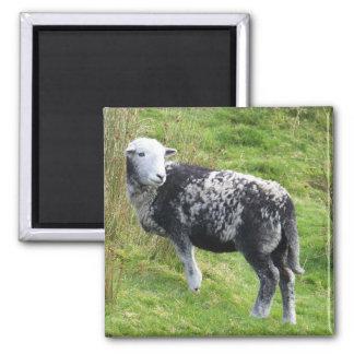 A sheep on Dartmoor Magnet
