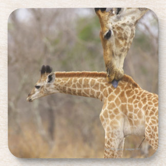 A side view of a Giraffe licking its young, Drink Coaster