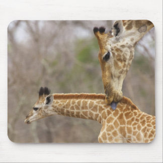 A side view of a Giraffe licking its young, Mouse Pad