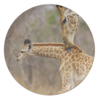 A side view of a Giraffe licking its young, Plate