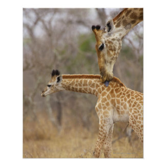 A side view of a Giraffe licking its young, Poster