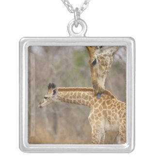 A side view of a Giraffe licking its young, Silver Plated Necklace