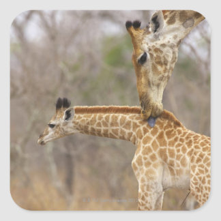 A side view of a Giraffe licking its young, Square Sticker