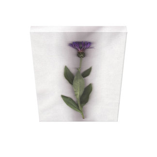 A Single Cornflower Canvas Print