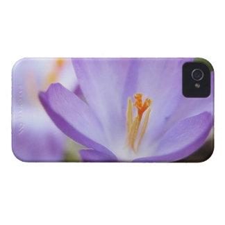 A Single Crocus Flower iPhone 4 Case-Mate Cases