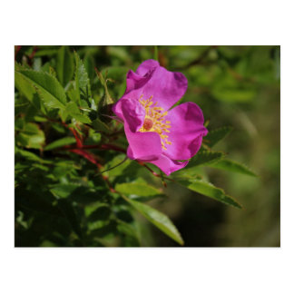 A Single Wild Rose Postcard