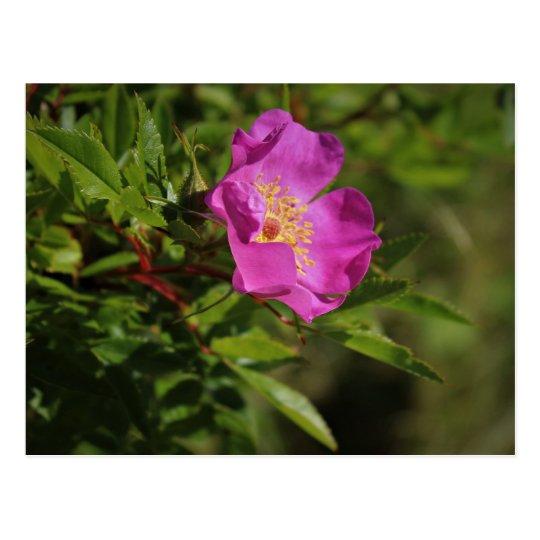 A Single Wild Rose Postcard