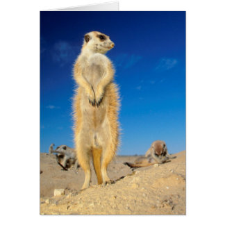 A small Suricate family interacting at their den Card