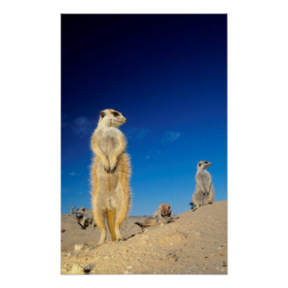 A small Suricate family interacting at their den Poster