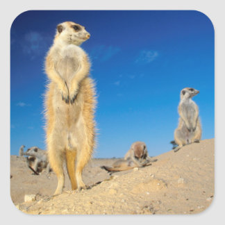 A small Suricate family interacting at their den Square Sticker