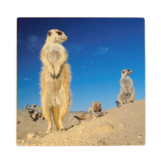A small Suricate family interacting at their den Wood Coaster