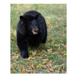 A Smiling Black Bear Poster