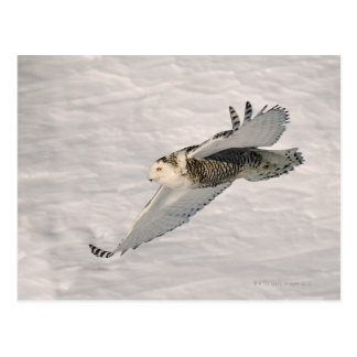 A Snowy owl gliding. Postcard