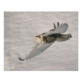 A Snowy owl gliding. Poster