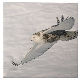 A Snowy owl gliding. Tile