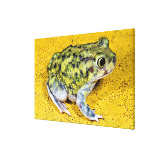 A spadefoot toad canvas print