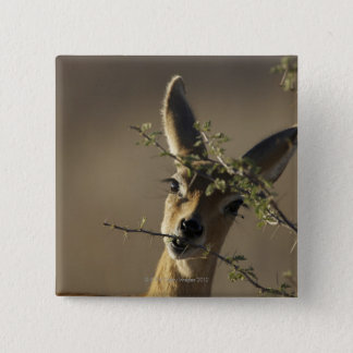 A Steenbok looking at the camera while it eats 15 Cm Square Badge