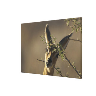 A Steenbok looking at the camera while it eats Canvas Print