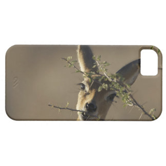 A Steenbok looking at the camera while it eats iPhone 5 Cases