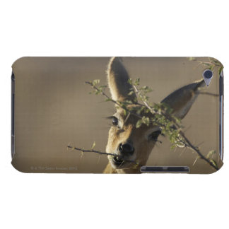 A Steenbok looking at the camera while it eats iPod Case-Mate Cases