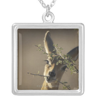 A Steenbok looking at the camera while it eats Silver Plated Necklace