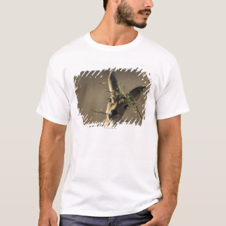A Steenbok looking at the camera while it eats T-Shirt