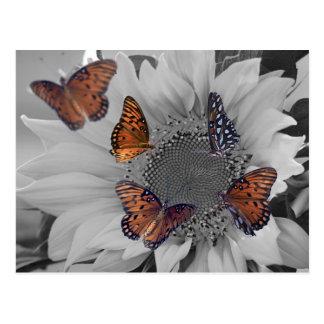 A Sunflower with Several Butterflies Postcard