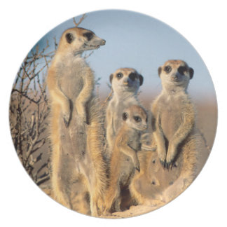 A Suricate family sunning themselves at their den Plate