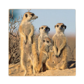 A Suricate family sunning themselves at their den Wood Coaster