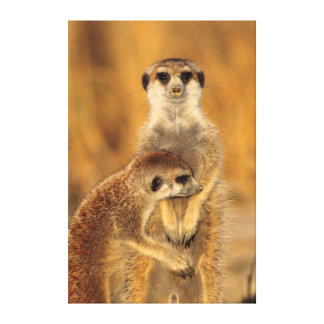 A Suricate mother and young interacting Canvas Print