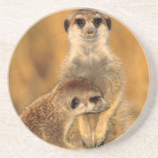 A Suricate mother and young interacting Coaster