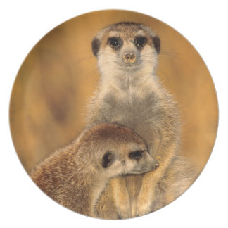 A Suricate mother and young interacting Plate