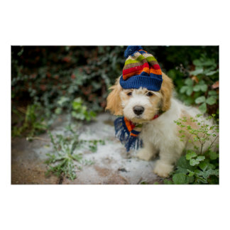 A Sweet Cavachon Puppy In A Winter Hat And Scarf Poster