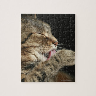 A tabby cat licking his paw. puzzle