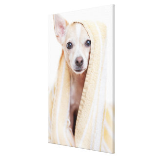 A Tan And White Chihuahua Sits Under A Towel Canvas Print
