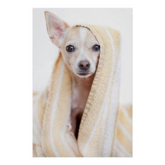 A Tan And White Chihuahua Sits Under A Towel Poster