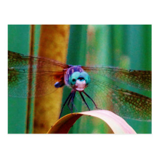 A teal Eyed Dragonfly with cattails Post Card