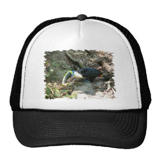 A Toucan Perches on tree roots on the forest floor Cap