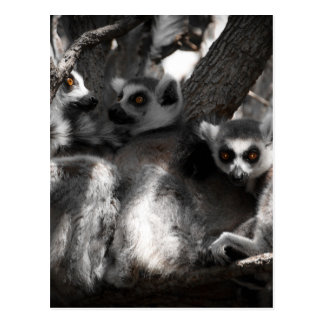 A trio of South African Lemurs Postcard