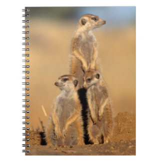 A trio of Suricates sunning at their den Notebook