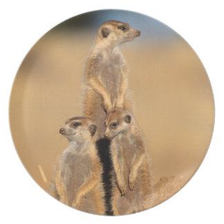A trio of Suricates sunning at their den Plate
